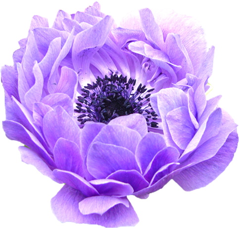 すべての講義 50音 カタカナ : アネモネの花の切り抜き ...