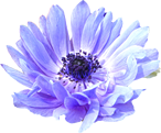 anemone_f4.png