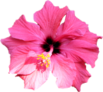 hibiscasc4.png