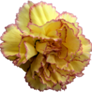 carnation_a4.png