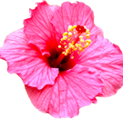 hibiscas4.png