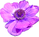 anemone_a4.png
